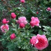 Розы Роуз де Байонне