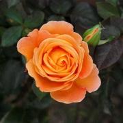 Розы Виски