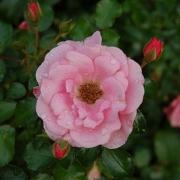 Розы Соммерморген