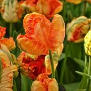 Тюльпаны Пэррот Кинг