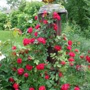 Розы Симпатия