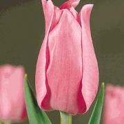 Тюльпаны Мадам Де Ла Мар