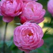Розы Рив