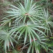 Комнатные растения Ливистона