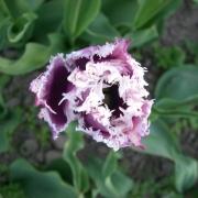 Тюльпаны Кумминс