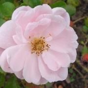 Розы Эстима