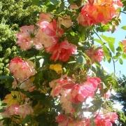 Розы Полька Бабочка