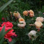 Розы Калапуно