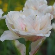 Тюльпаны Монтрекс