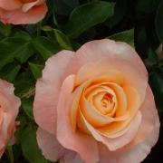 Розы Изабелль Аутиссиер