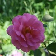 Розы Кариад
