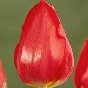 Тюльпаны Суперкап
