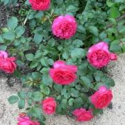 Розы Анадиа