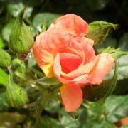 Розы Трамонто Эстиво