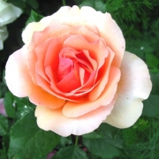 Розы Фрагрант Эприкот