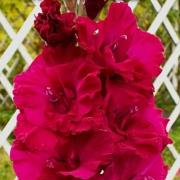 Гладиолусы Луч Пурпурного Заката