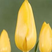 Тюльпаны Эйприл Мун