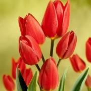 Тюльпаны Ред Жоржетта