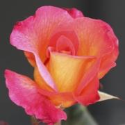 Розы Марди Грас