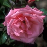Розы Либелле
