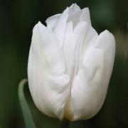 Тюльпаны Вайт Принц