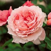 Розы Давидофф