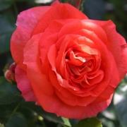 Розы Соммерсонне