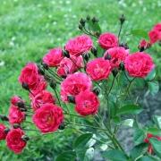 Розы Оранж Триумф