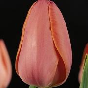 Тюльпаны Стуннинг Эприкот