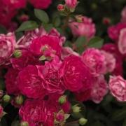 Розы Литтл Мишиф