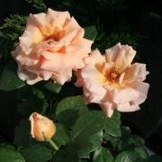 Розы Индиан Саммер