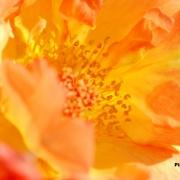 Розы Пигалле