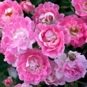 Розы Флирт 2011