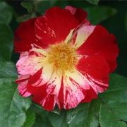 Розы Четвертое Июля