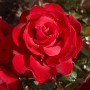 Розы Гранд Аморе