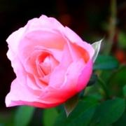Розы Иммортал Жуно