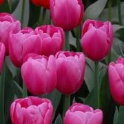 Тюльпаны Анаконда