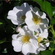 Розы Немо