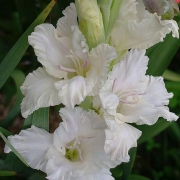 Гладиолусы Белая Берёза