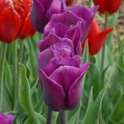 Тюльпаны Ханс Анруд