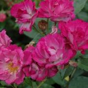 Розы Перпл Симплисити