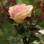 Розы Сувенир де Баден-Баден