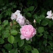 Розы Редут