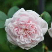 Розы Эуэйкенинг