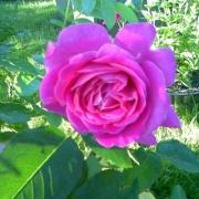 Розы Чарли
