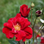 Розы Френшам