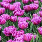 Тюльпаны Колор Бёрст