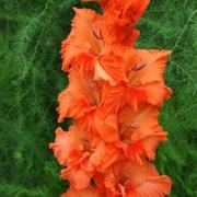 Гладиолусы Оранжевое Лето