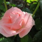 Розы Бонита Ренессанс