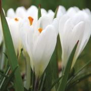 Крокусы Жанна д'Арк
